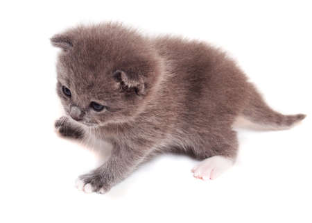 A small gray kitten on a white background     Stock Photo
