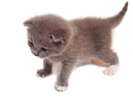 A small gray kitten on a white background