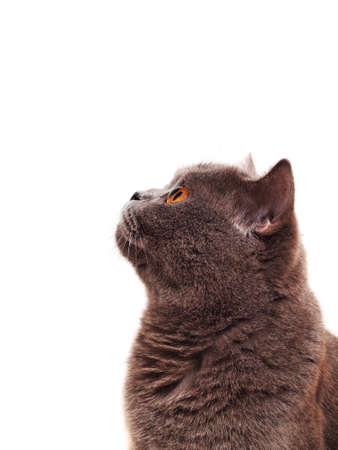 Scottish cat on a white background looking up