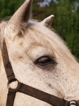 The head of an elderly white horse close-up