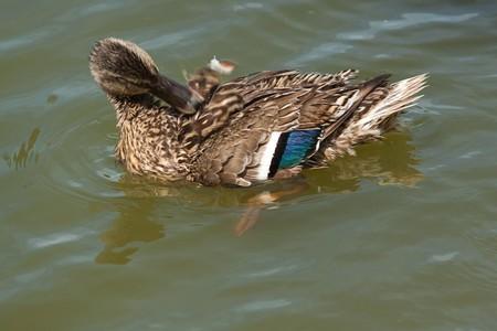 preening: preening duck 8886