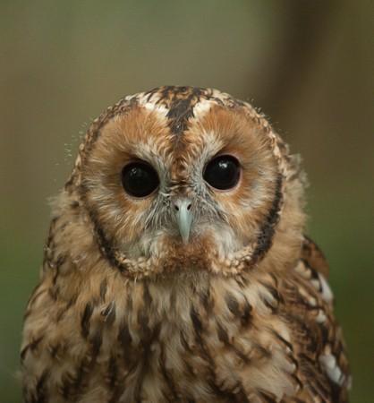 tawny: tawny owl 9301 Stock Photo