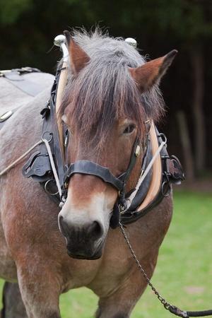 heavy horse portrait Stock Photo - 8654449