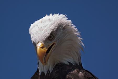 american bald eagle 4615 photo