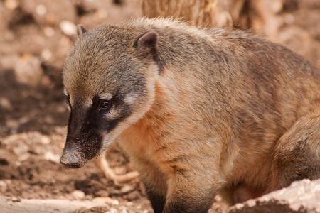 ring tailed: ring tailed coati 5033 Stock Photo