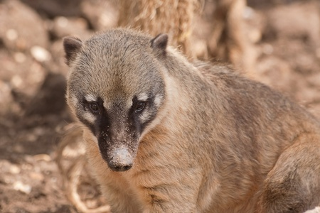 ring tailed: ring tailed coati