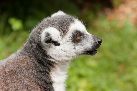 ring tailed: ring tailed lemur 5068 Stock Photo