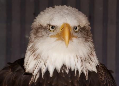 portrait of an American bald eagle  photo
