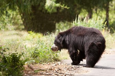 sloth: oso perezoso mirando