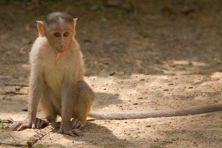 long tail: monkey with long tail
