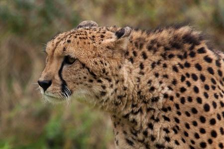 staring cheetah photo