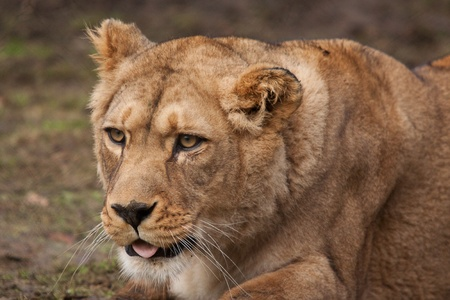 barbary: Barbary lioness