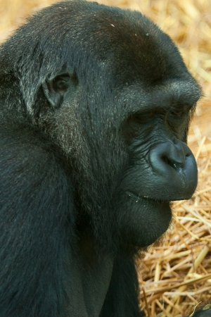 female low land gorilla photo