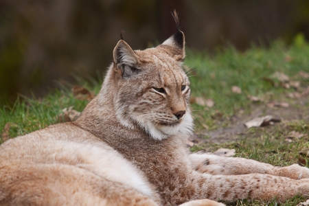 restful: restful northern lynx Stock Photo