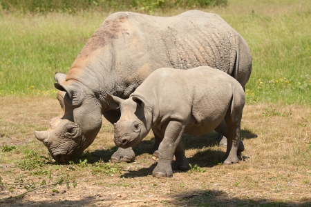 mother and baby rhino photo