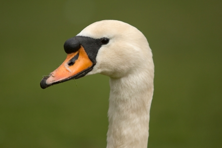 water fowl: mute swan portriat Stock Photo