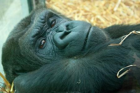lowland: lowland gorilla portrait Stock Photo