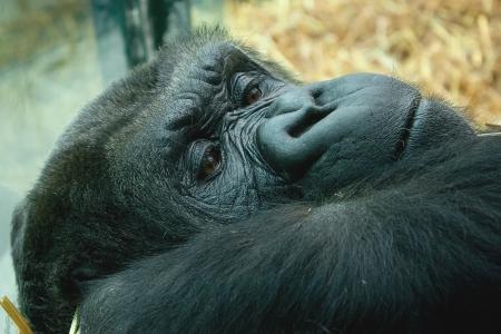 lowland: resting lowland gorilla Stock Photo