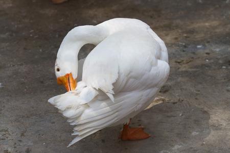 preening: preening white goose Stock Photo