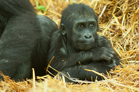 resting baby gorilla photo
