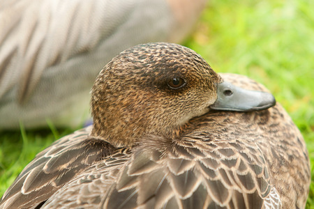 water fowl: resting female duck