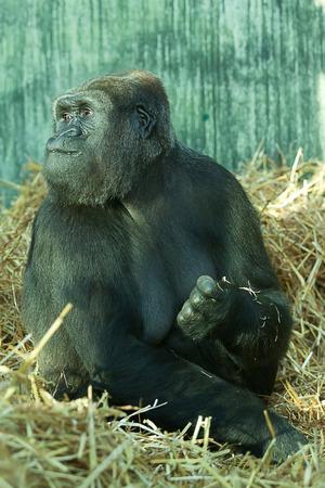 lowland: Female Lowland Gorilla