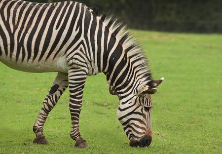 herbivorous animals: photo of a zebra grazing