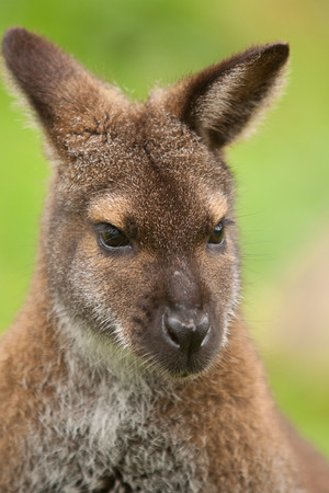 wallaby: photo portrait of a cute little wallaby