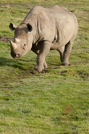 nostril: photo of a black rhino walking in the sunshine