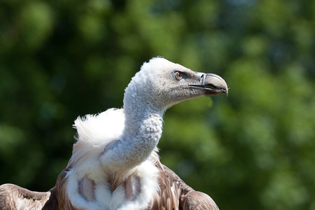 wing span: Photo of a Griffon Vulture