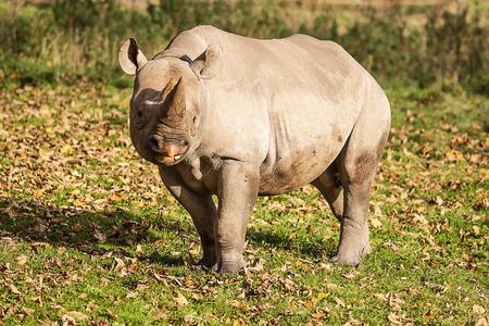 nostril: Black Rhino standing in sun shine