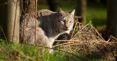 hunted: Photo of a Lynx cat