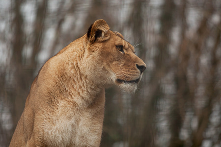 hunted: Photo portrait of a Barbary Lioness Stock Photo