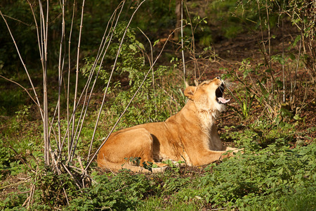 barbary: photo of a yawning Barbary lioness Stock Photo