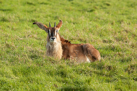 sable: photo of a young Sable Antelope Stock Photo