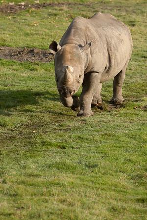 hunted: Photo of a black rhino walking in sun shine Stock Photo