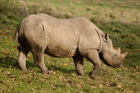 nostril: Photo of an Adult Black Rhino