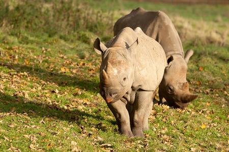 hunted: Apair of Black Rhino standing in sunshine