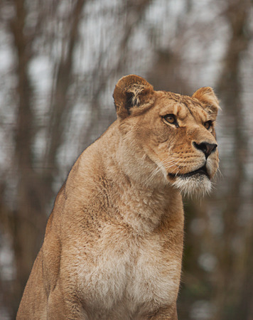 barbary: Barbary Lioness portrait Stock Photo