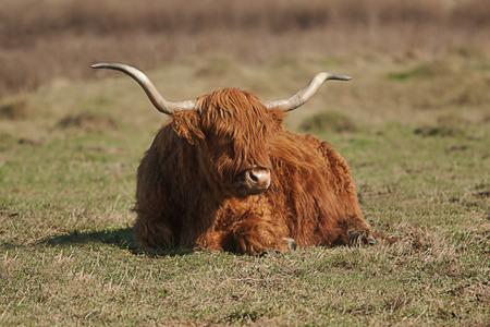 resting: resting highland cattle