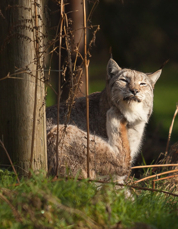 Lynx cat with an itch
