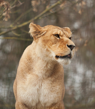 barbary: Barbary lioness portrait