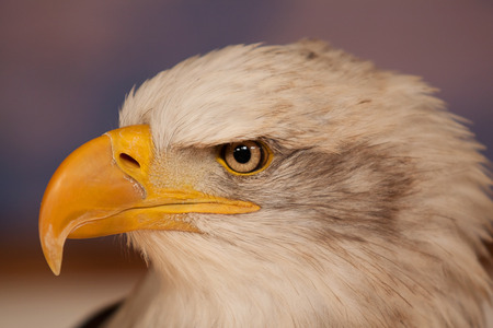 hunted: photo portrait of an American Bald eagle Stock Photo
