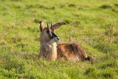 sable: Young Sable antelope sitting in grass Stock Photo