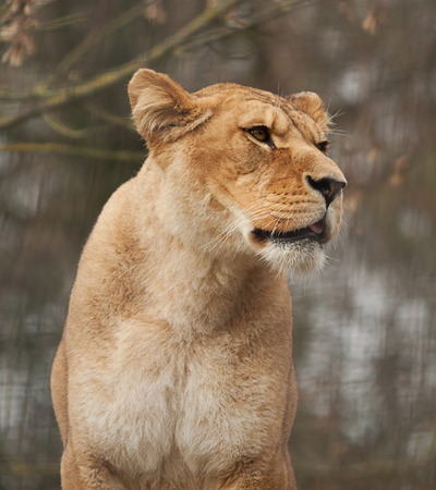 hunted: photograph of an alert Barbary lioness
