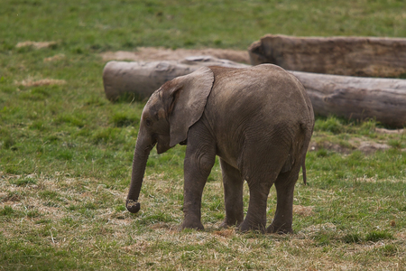 photo of a single young African elephant Stock Photo