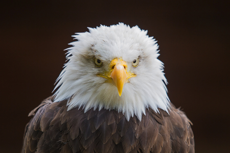 photo of an alert looking American Bald Eagle Stock Photo