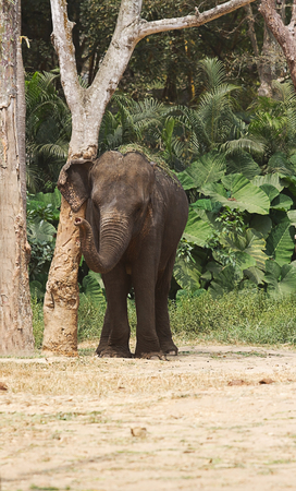 photo of an Asian elephant rubbing up against a tree