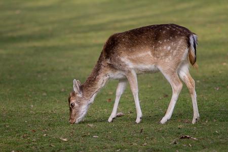 foto van een vrouwelijke Fallow herten grazen op groen gras Stockfoto