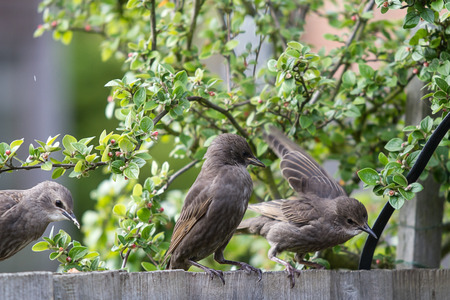 Young Starlings sitting on a fence Stock Photo